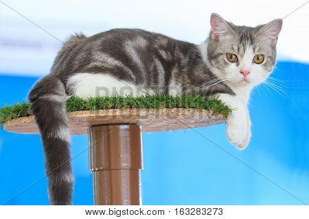 Lovely american shorthair on the cat condo