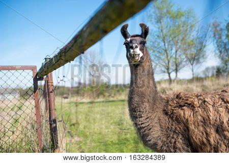 Llama's Gaze
