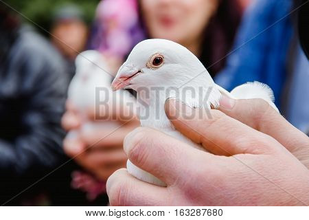 White dove in the hands of a man. The bride holds a dove. The groom let go into the sky white dove.