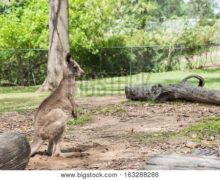 Wallabies at the park in Brisbane, Queensland, Australia