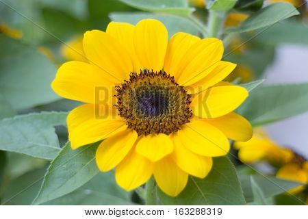 Single sunflower in the garden stock photo