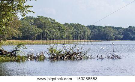 water birds in Minneriya nature reserve reservoir in Sri Lanka