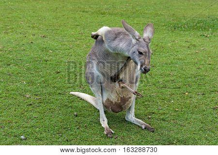 Mother Kangaroo carrying her joey in her pouch in Brisbane, Queensland, Australia