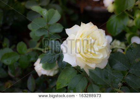 Little white rose flower bloom stock photo