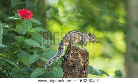 Indian palm squirrel in Minneriya national park, Sri Lanka ; specie Funambulus palmarum family of Sciuridae