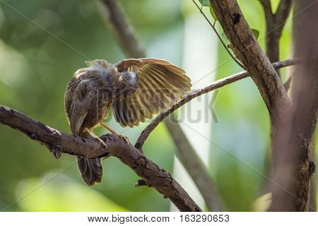 Yellow-billed babbler in Minneriya national park, Sri Lanka ; specie Turdoides affinis family of Leiothrichidae