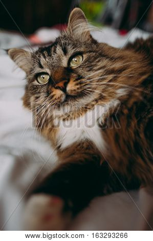 Grey cat with long fur lying on bed