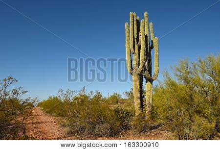 Saguaro Cactus adjacent to a dirt path in the Sonoran Desert near Apache junction Arizona.