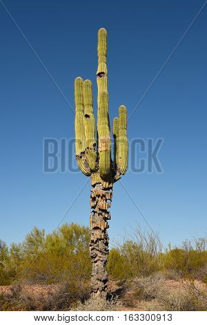 Saguaro Cactus in the Sonoran Desert near Apache junction Arizona.