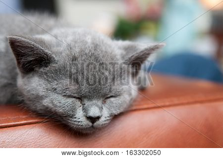 Cute kitten asleep on the arm of a sofa. British blue shorthair