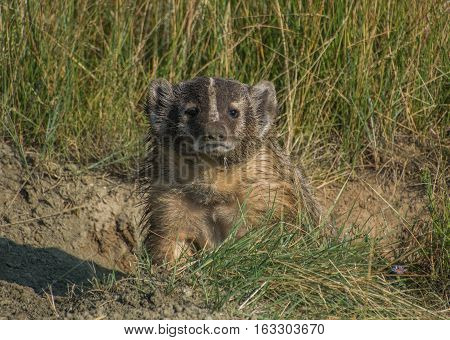 American Badger checking out its surroundings for the morning