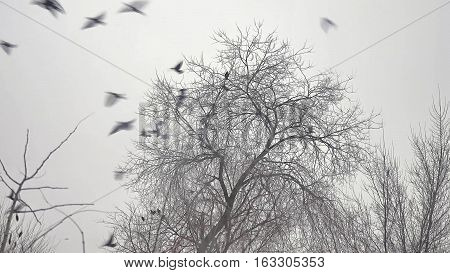 flock of birds taking off from a tree, flock of crows black bird dry tree
