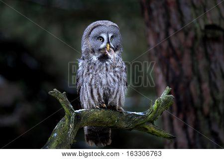 Great Grey Owl Eating Prey