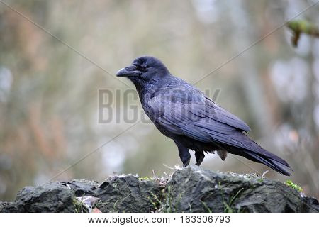 Standing raven on rock in the forest