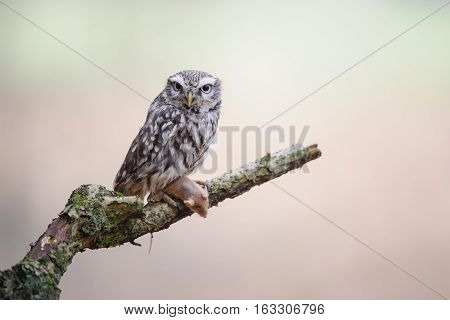 Little Owl With Hunted Mouse On Tree Brunch