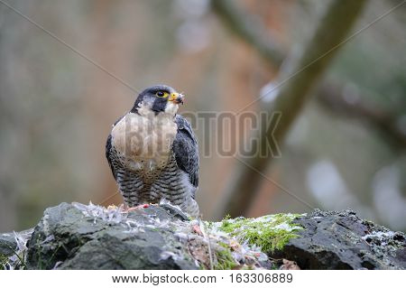 Peregrine Falcon tearing prey on rock in forrest