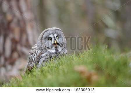 Great Grey Owl Shout In Grass
