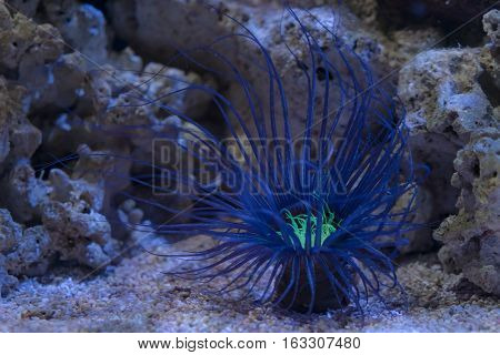 Blue Sea Anemone with green center on coral