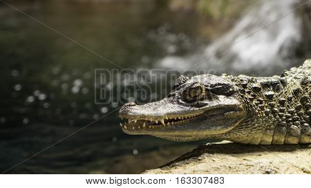 juvenile crocodile sunning itself on a rock in front of water