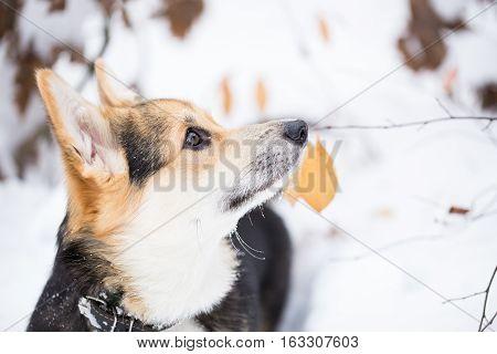 Portrait of pembroke welsh corgi in the winter forest.