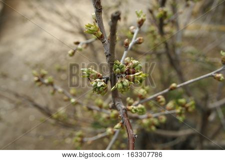 In the spring begin to blossom buds and leaves appear, is the emergence of new life
