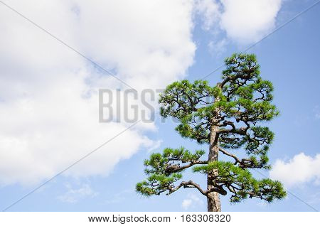Beautiful Top of Pinus Densiflora or Japanese Red Pine with Blue Sky and Cloudy.Japanese Red Pine is Famous to Plant in Japan.