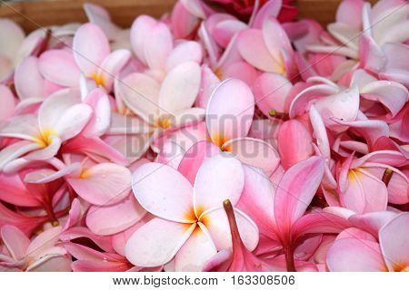 Pile of pink plumeria blossoms ready fro hawaiian lei making