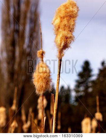 A group of cat tails in a pond near Camp Polk in Central Oregon illuminated by morning light in the winter while whithering away.