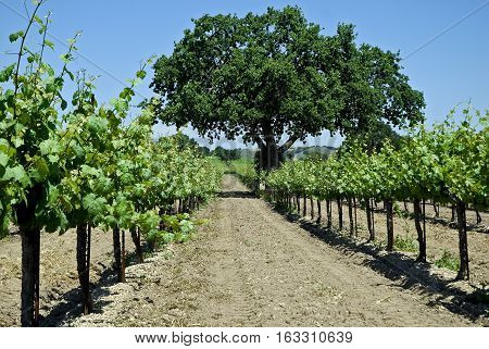 This is a photo of a vineyard.