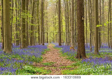 Hallerbos forest in the spring with english bluebells and a forest lane in the milddle to the trees with fresh green leaves