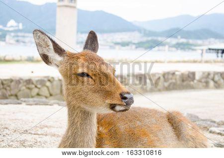 Wild Lonely Deer on Itsukushima Jinja Shrine Itsukushima Miyajima island near Hiroshima. Japan