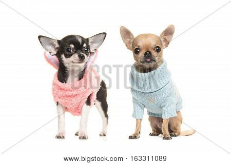 Two boy and girl chihuahua puppy dogs wearing a pink sweater and wearing a blue sweater on a white background