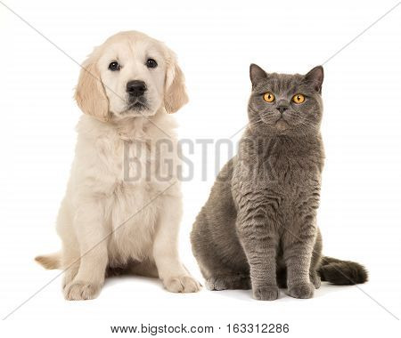 Blond golden retriever puppy dog and grey british short hair cat sitting facing the camera isolated on a white background