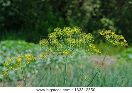Beautiful yellow inflorescences umbrella dill species in the garden in summer day on a light background