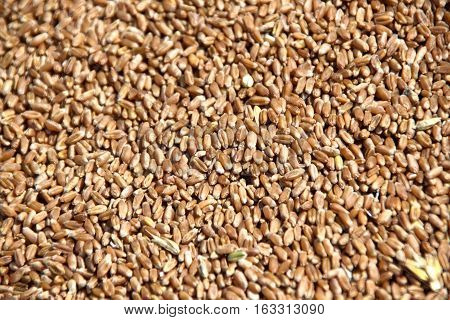Background made of wheat grains. Wheat grains texture top view