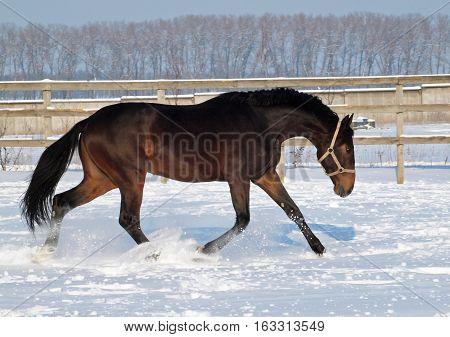 Bay horse running along on deep snow