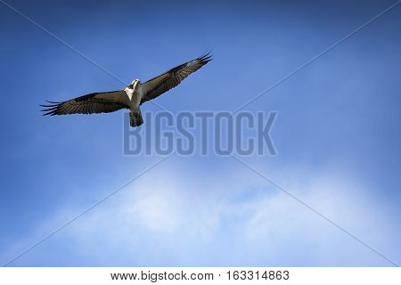 Osprey in Flight with Blue sky and clouds in background