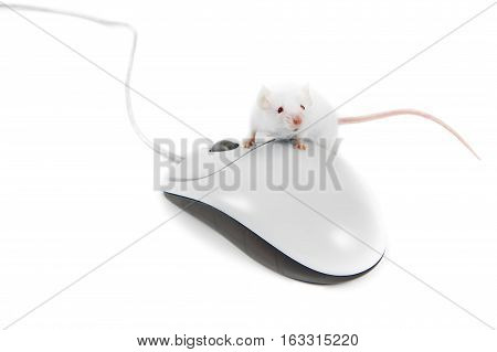 White Mouse on Computer Mouse with White Background