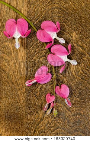 Bleeding Heart Flower Stem with Blooms on Wood