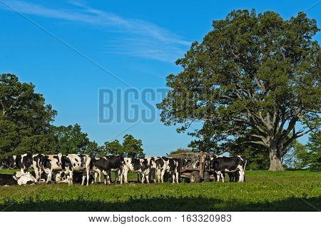 A Cluster of Cows Eating off Hay Wagon
