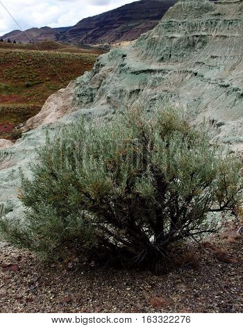 A big bush of sagebrush grows amongst the unique and colored geology of John Day Fossil Beds in Eastern Oregon on a spring day.