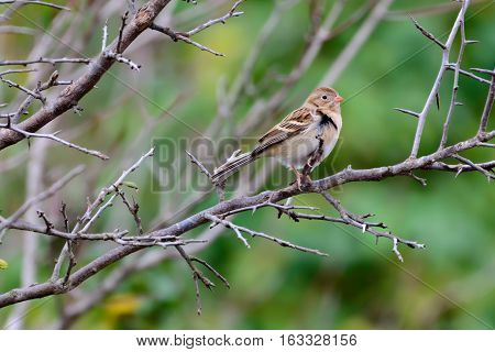 Field Sparrow (Spizella pusilla) perched on a bare branch with blurred green foliage background