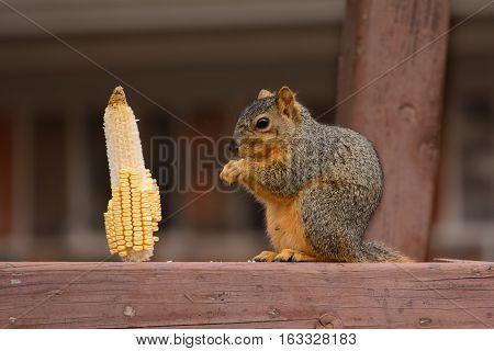 Fox squirrel (Sciurus niger) feeding on a corn kernal while sitting on a wooden perch.