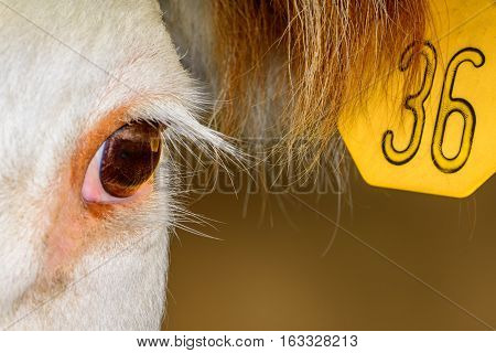 Close up of Hereford Cow with ear tag