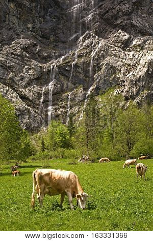 Grazing cattle in the Lautterbrunnen valley with waterfalls trickling out of the rock walls.