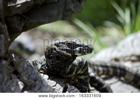 this is a close up of a lace lizard