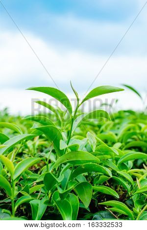 Asia culture concept image - Green and fresh organic tea bud tree & leaves plantation the famous Oolong tea area in high mountain with blue sky morning Taiwan
