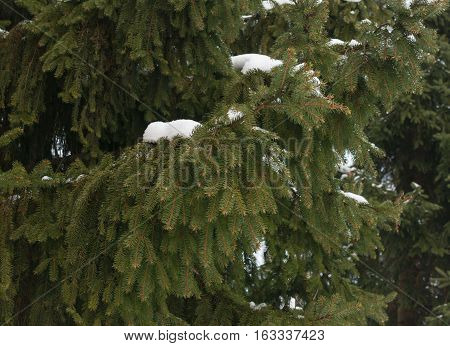 snowy fir branch, beautiful background, spruce needles texture