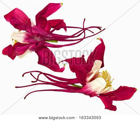 Large Pink And White Blossom Of Columbine Flower