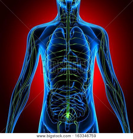 3d illustration human body nevers.human body organs.